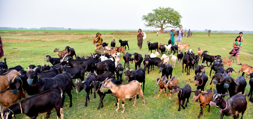 Goat herders in Odisha, India.