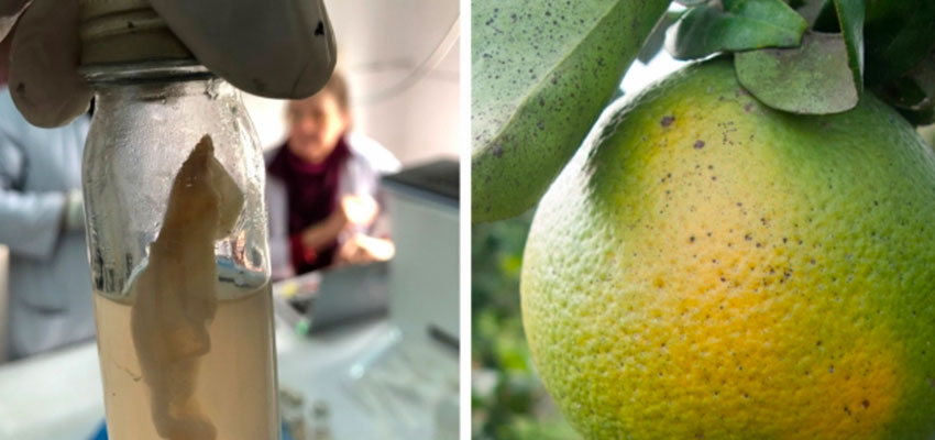 Left: A water sample undergoing testing using the J-WAFS-funded water quality test kit soon to be deployed throughout Nepal. Right: Citrus trees infected with citrus greening disease are highly contagious and can wipe out whole orange groves. A J-WAFS-funded sensor could help farmers detect the disease much earlier.  Image: Murcott/Ravel research team