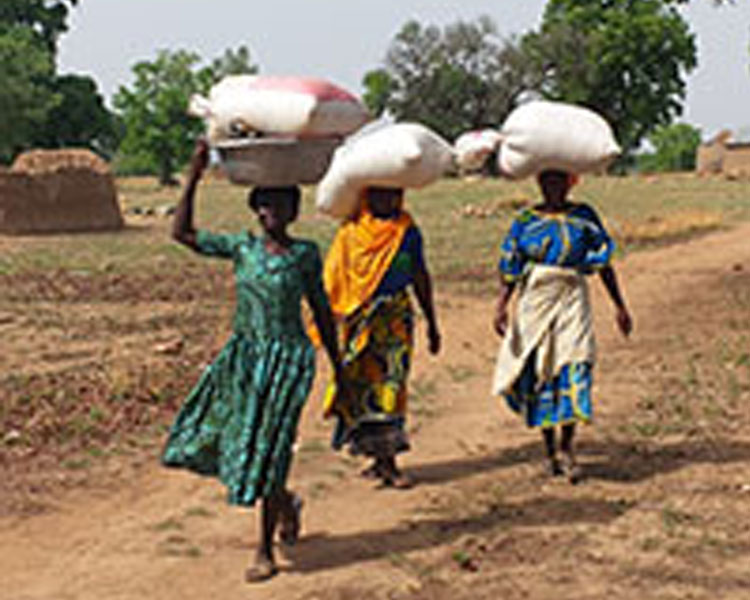 Women transport moringa seeds in Ghana