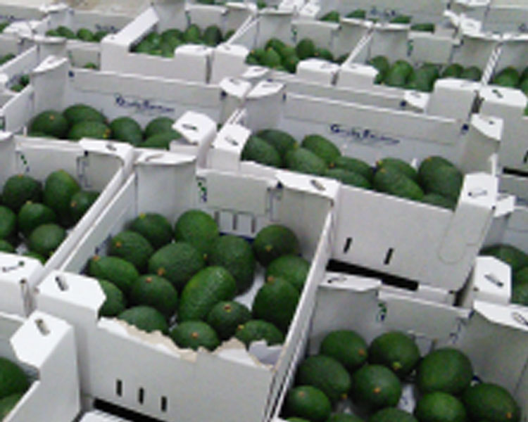 Sorting and packing avocados in Ethiopia.